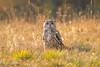 Siberian Steppe Eagle Owl D85_6171.jpg