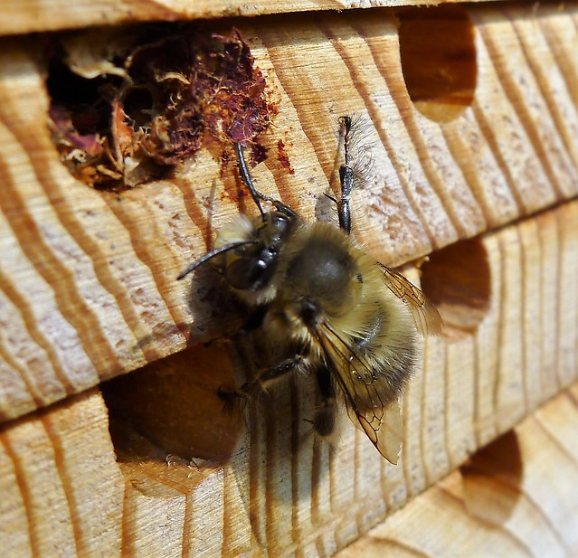Hairy-legged Flower Bee. Anthophora plumipes. male