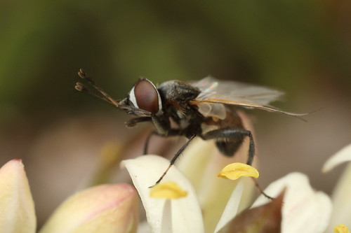 Fly - Phasia sp?