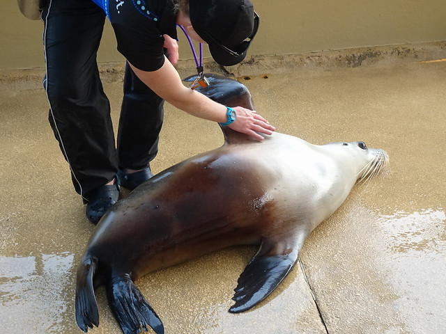 Seal Doing Lie Down