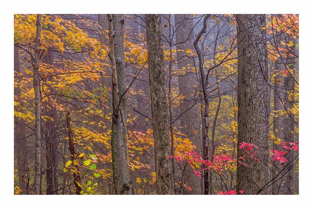 Autumn trees in the Mist