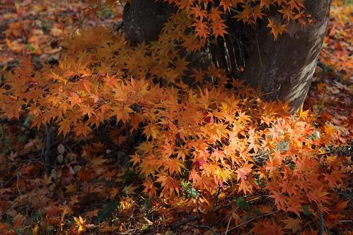岩手県 北上市 大堤公園 fall fallcolors fallenleaves fallfoliage fallingleaves fallentree autumn autumnleaves autumncolours autumnfoliage autumncolors autumnalleaves 紅葉