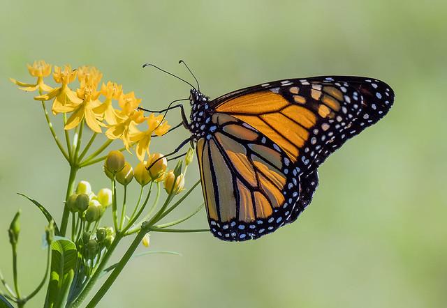 Monarch butterfly nectaring on Milkweed Flower, Fairchild Tropical Botanic Garden.
