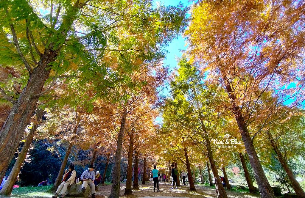杉林溪 落羽松 水杉 楓葉 門票旅展  南投景點36