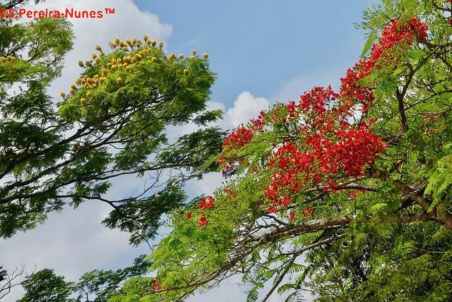 Flowering Flamboyant & Sibipiruna, Forest Hills, Jandira-SP, Brazil