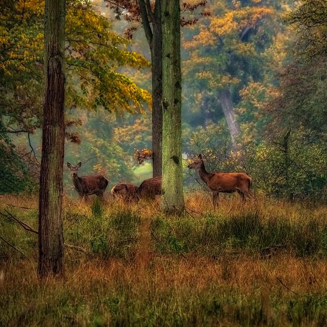 Reed deer in Dyrhaven