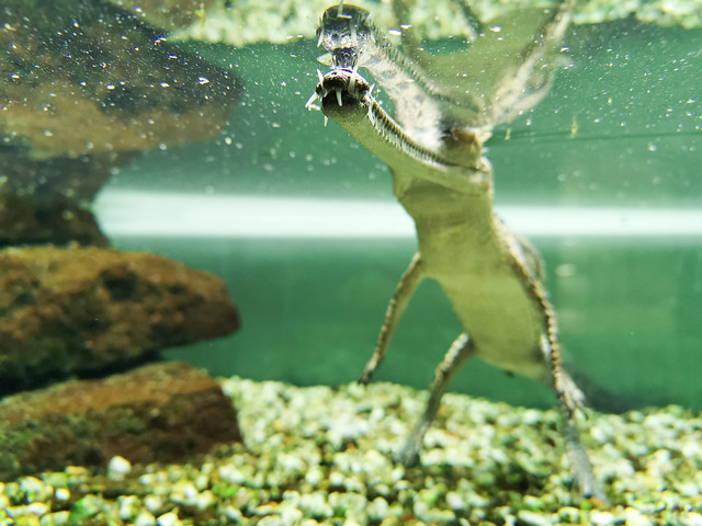 Petit gavial, Pairi Daiza