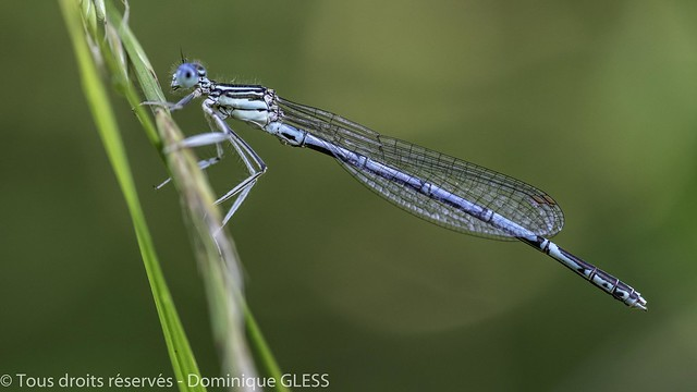Agrion à larges pattes - White-legged damselfly