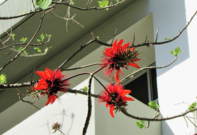 Erythrina sp. in flower at the Smithsonian Tropical Research Institute 2934
