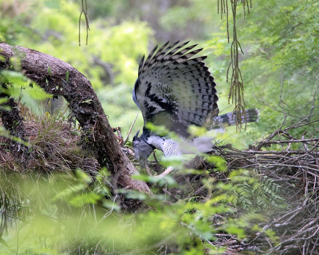 Harpy Eagle (Harpia harpyja) building nest