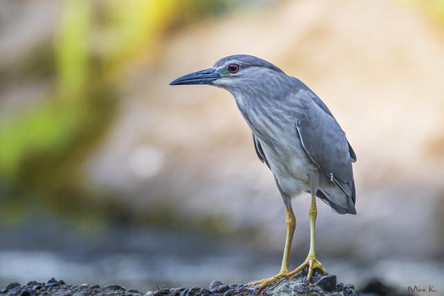 Young Night Heron #3