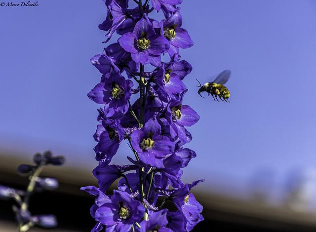 Bee and the Delphinium