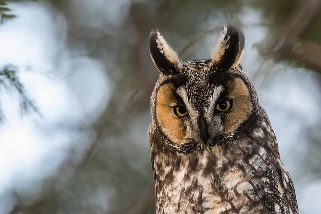 Moyen duc/long-eared owl-21138