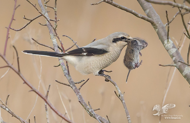 Real Mouth Full #2 (Northern Shrike)