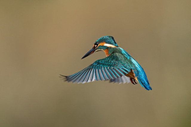 Kingfisher hovering in morning light