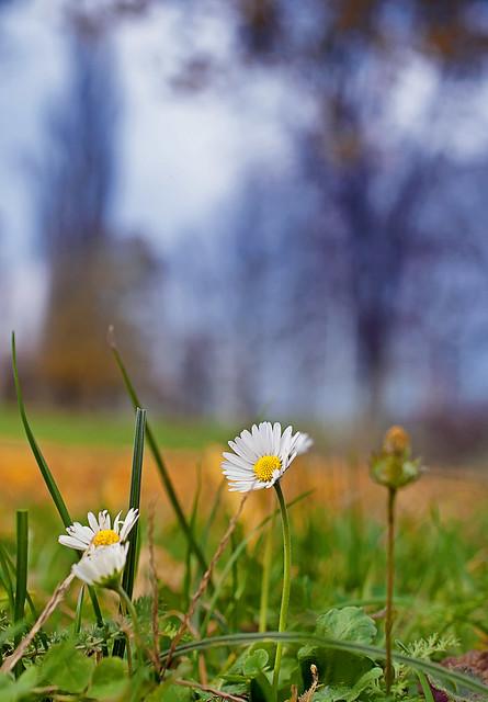 November's daisies