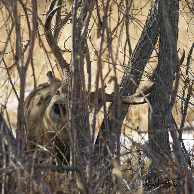 Big Buck Marking A Tree