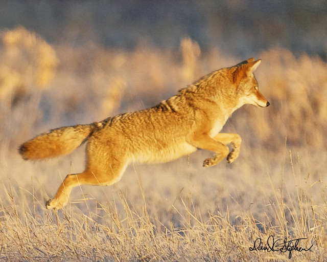 Coyote Leaping At Sunrise