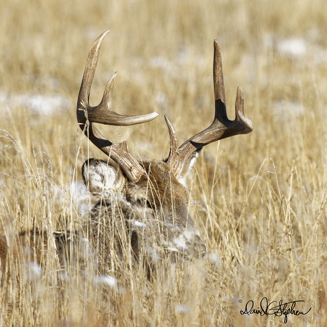 Handsome White-tail Buck Lounging In Prairie Grass