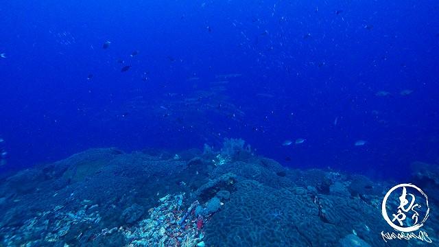 根頭は珊瑚やソフトコーラルなどの動物でおおわれています