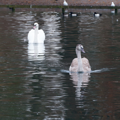 Swan, full-sized cygnet, West Park