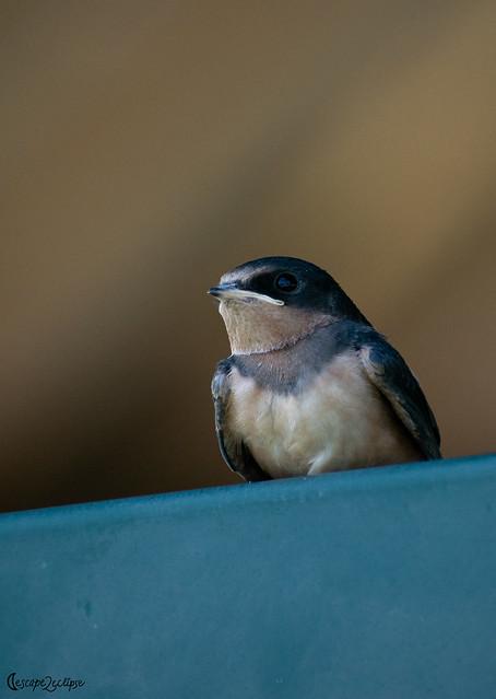 Dynamic Portrait of Barn Swallow (Juvenile)