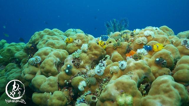 ハマサンゴの上はいつもイバラカンザシがいっぱいです