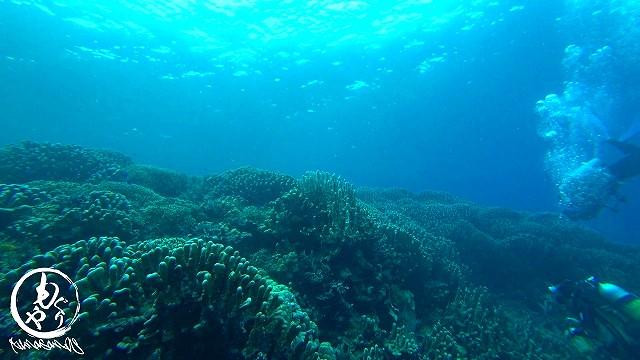 コモンシコロサンゴの群生も。