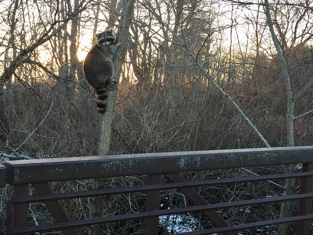 Raccoon at bridge near Lake Ontario across Duffins Creek , Squires Beach , Martin's photographs , Ajax , Ontario , Canada , January 4. 2019
