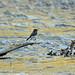 Black Phoebe, Tonto National Forest, AZ