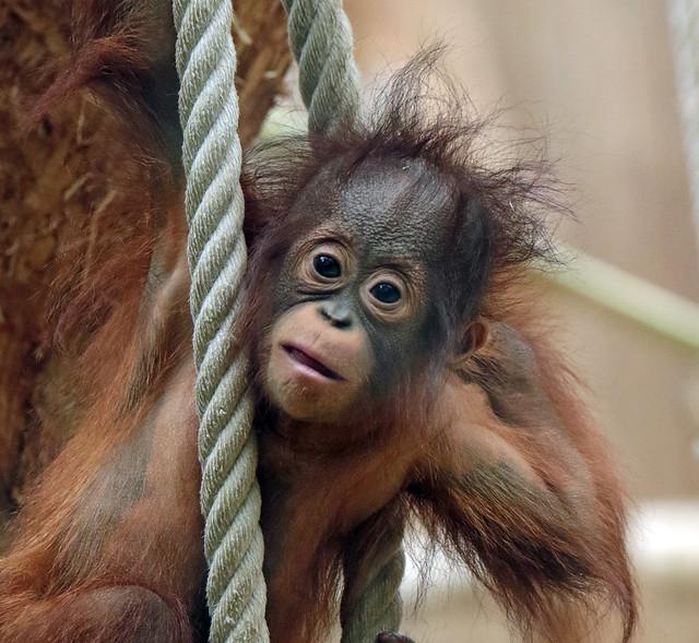borneo orangutan cabu Keulen BB2A0615