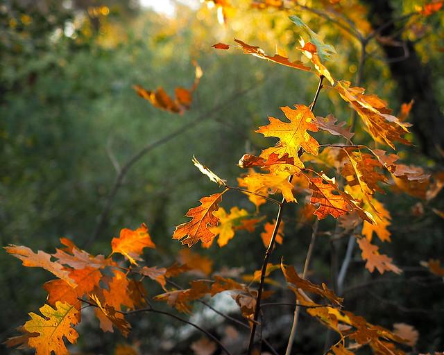 Autumn leaves, Palomar Mt. State Park