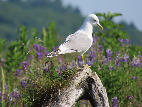 Mew Gull (Larus canus) | by Crappy Wildlife Photography