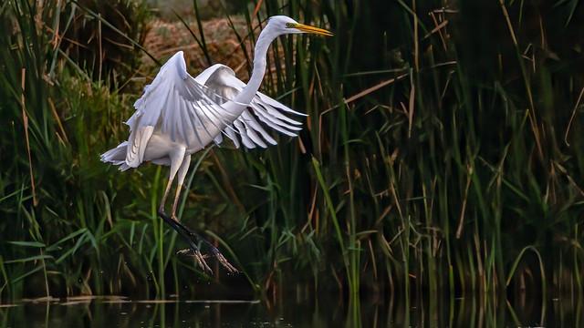 Hopping Great Egret (Ardea alba), Azraq Wetland Reserve, Jordan