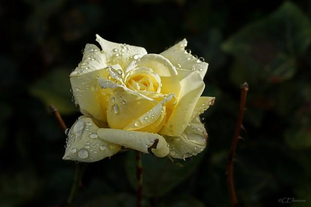 letzte Rose  / last rose