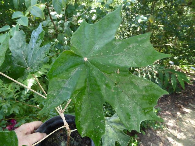 Pterospermum diversifolium Blume 1825 (MALVACEAE).
