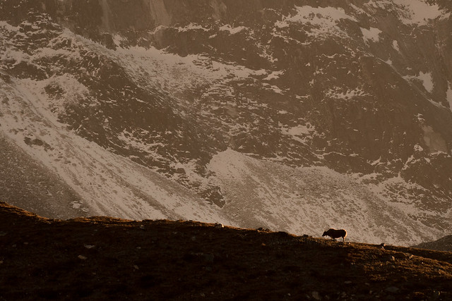 Himalayan Yak Spotlight