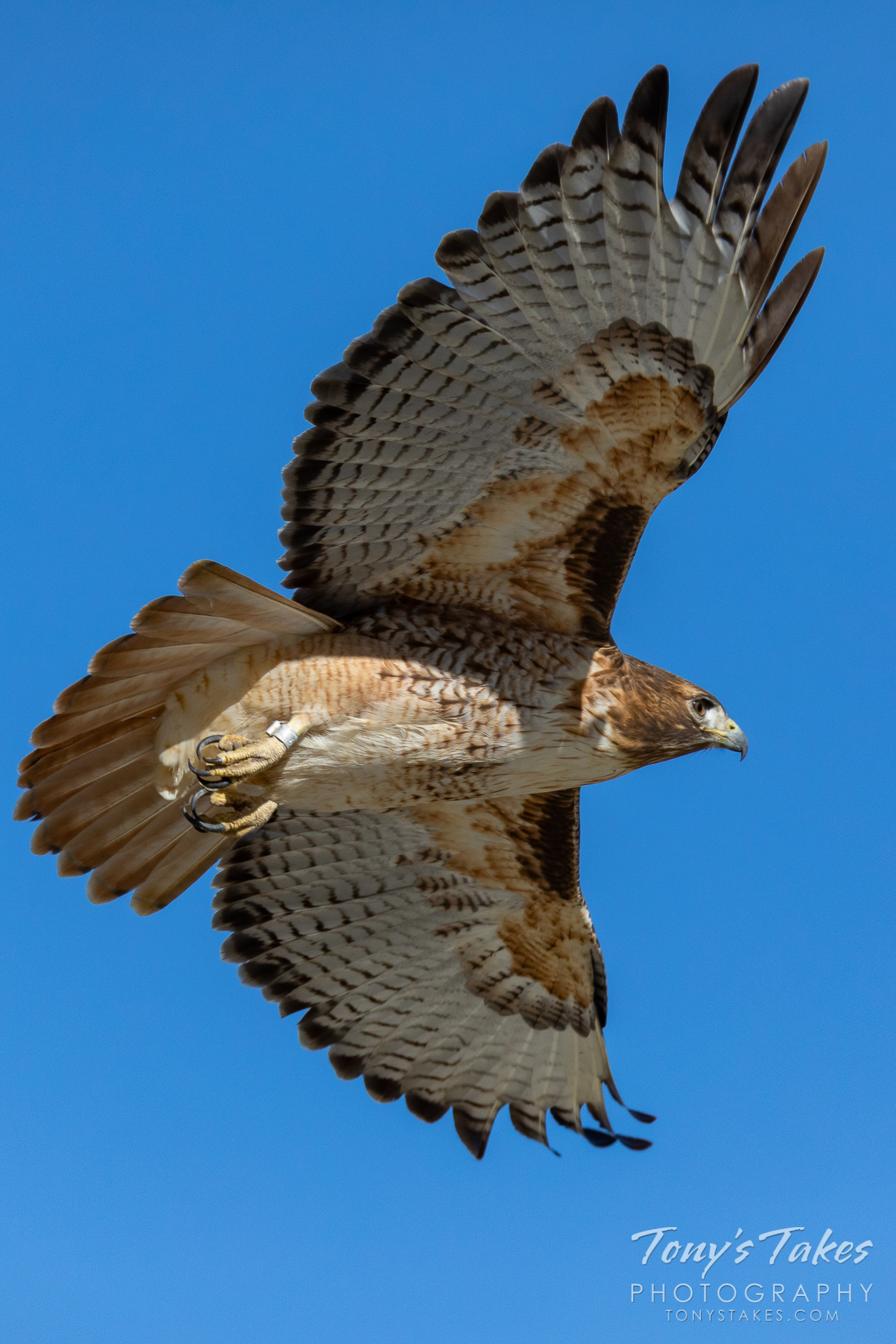 A red tailed hawk takes flight. (© Tony's Takes)
