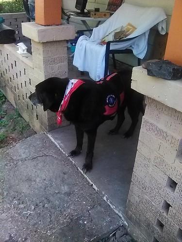 servicedog blackobsidian rocks stones chair dog lab labrador porch pillars theft old landscaping louisville kentucky