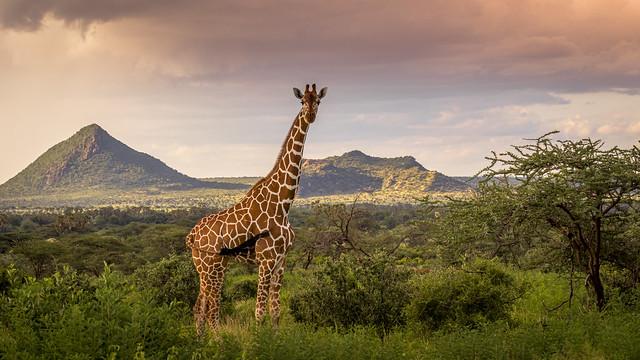 girafe reticulée samburu Kenya-4130