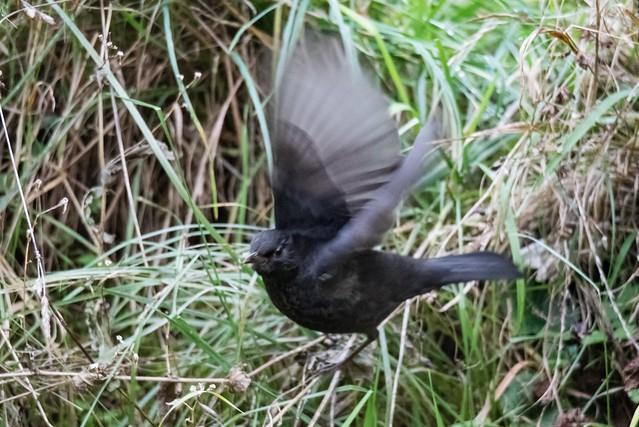 Amsel beim Start / Blackbird at start