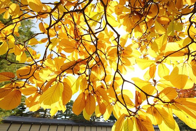Autumn leaves of magnolia