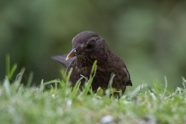 Amselportrait / Blackbird Portrait