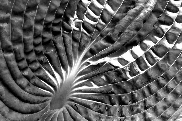 Backlit hosta leaf