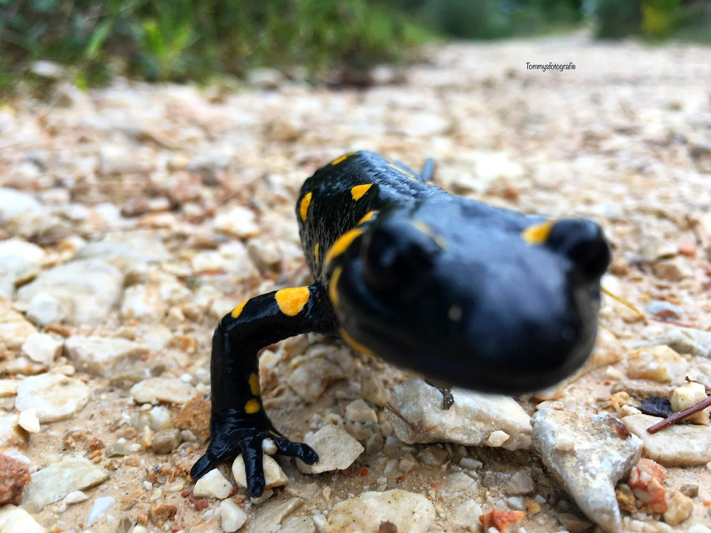 Hello, how are you my rare firesalamander