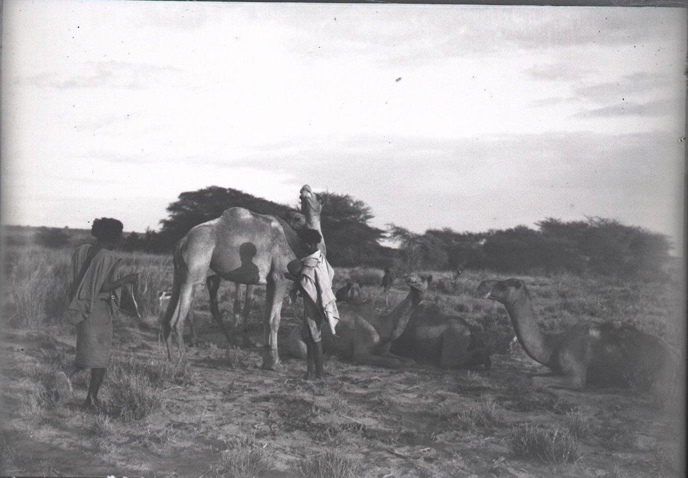 657. Данакильская пустыня. Верблюды