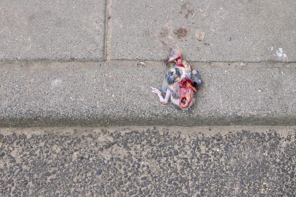 P5272187-Killed dead pigeon baby | P5272187-Killed pigeon ...