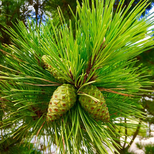 pine and pinecones | by Ken Ronkowitz