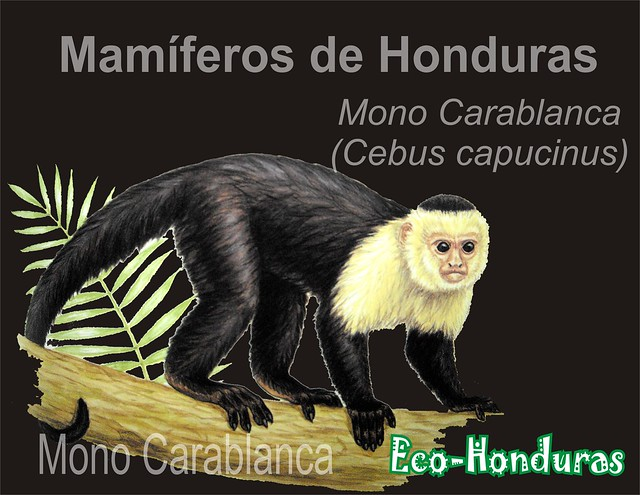 Mono carablanca2