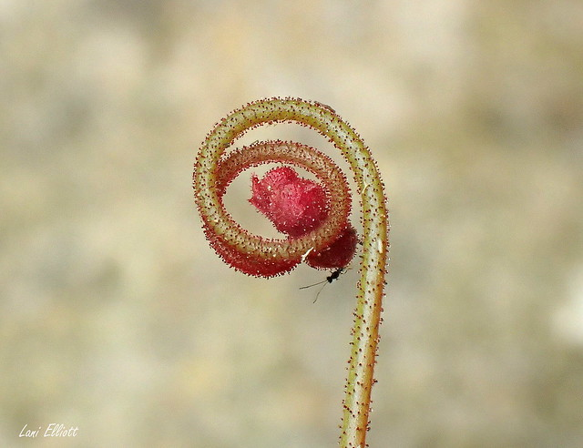 Tiny Sundew Bud with a Visitor